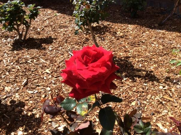 Ah.. the roses