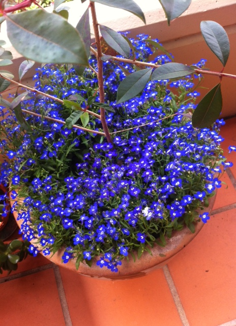 Lobelia in flower
