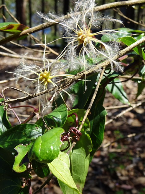 Feathery seed heads on a Clematis vine in the picnic area