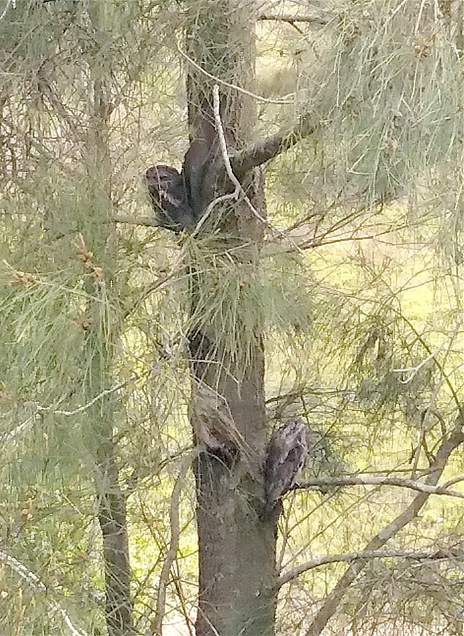 1512 Tawny Frogmouths 1