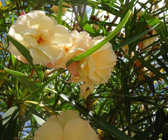A flowering Oleander in the driveway