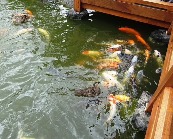 A feeding frenzy with Koi and ducks